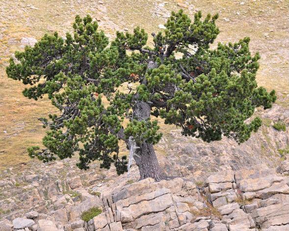 Дерево Сосни Сосновського, Крючковатої