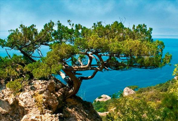 Сосна Станкевича дерево