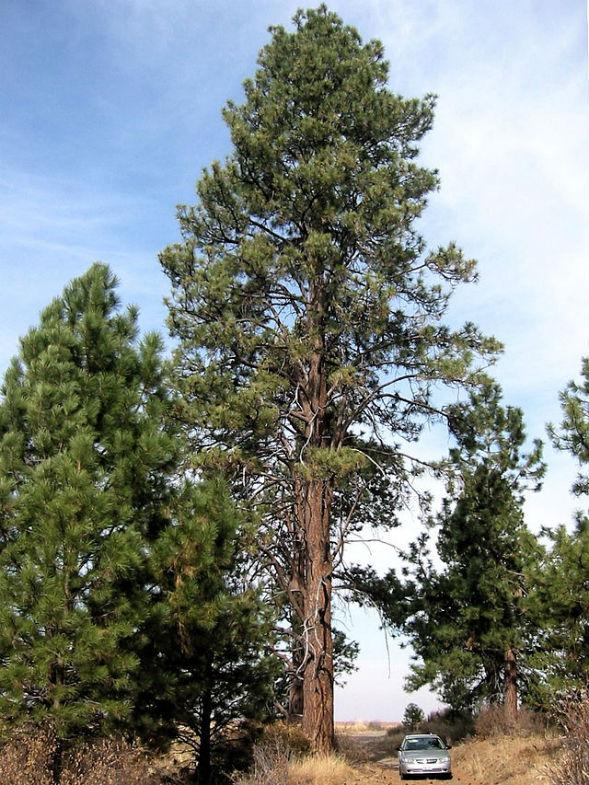 Дерево Сосны Желтой Тяжелой