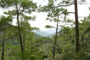Сосны светлохвойных лесов Америки и Средиземноморья