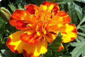 Декоративно-растущие садово-парковые растения семейства сложноцветковые