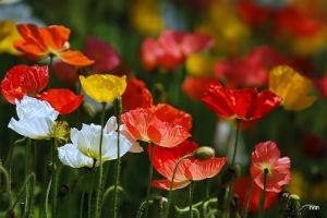 Декоративно-растущие многолетние растения семейство маковых