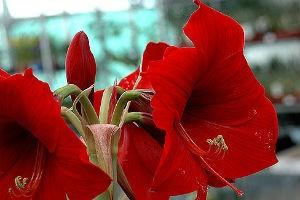 Декоративно-растущие многолетние растения – семейство амариллисовые