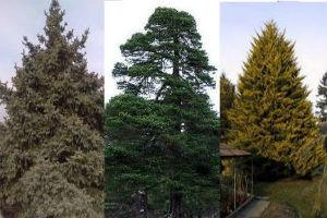 Вечнозеленые хвойные деревья темнохвойных лесов