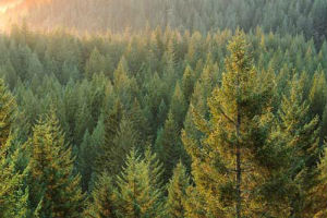 Наиболее популярные в культуре виды Ели темнохвойного леса