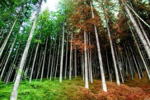 Хвойные деревья светлохвойного леса - сосна и лиственница