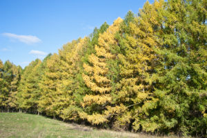 Виды лиственниц светлохвойных лесов