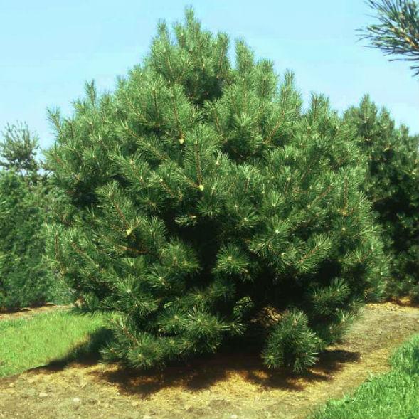 Дерево Сосны Черной, Австрийской